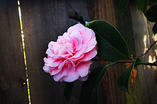 Camellia By Fence