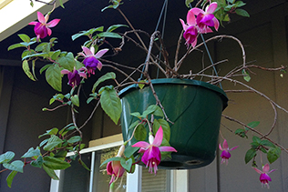 Purple Fuchsia