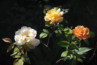 three rose colors