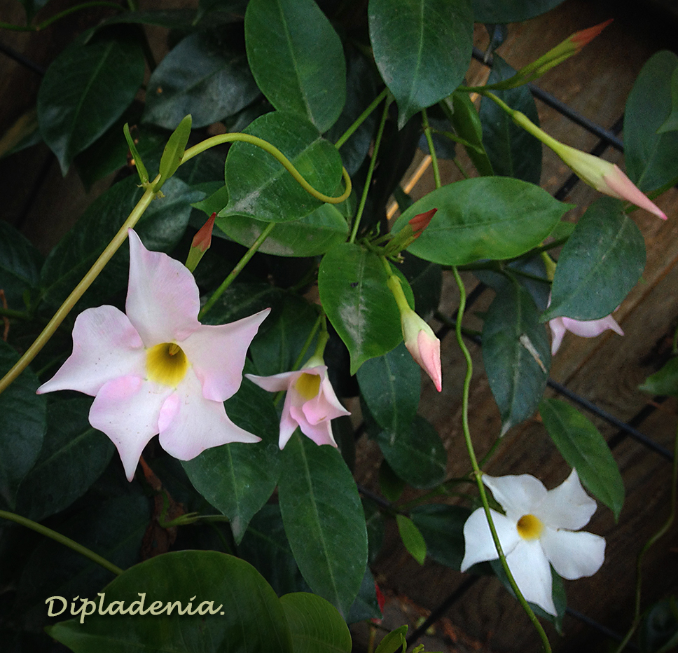 White and Pink Dipladenia
